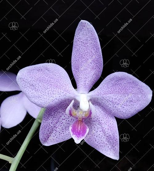 Phalaenopsis gigantea x sanderiana