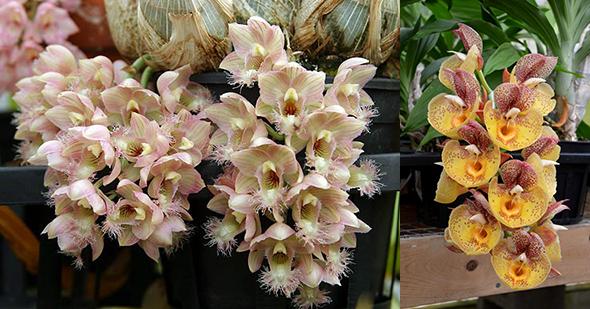 Clowesetum Amazing Grace (Clowesia Grace Dunn 'Live Oak' x Catasetum Orchidglade 'Davie Ranches')