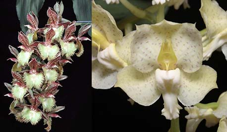 Catasetum Corinne's Frilly Spots (Frilly Doris 'SVO II' x tigrinum 'Very Wide Petals')