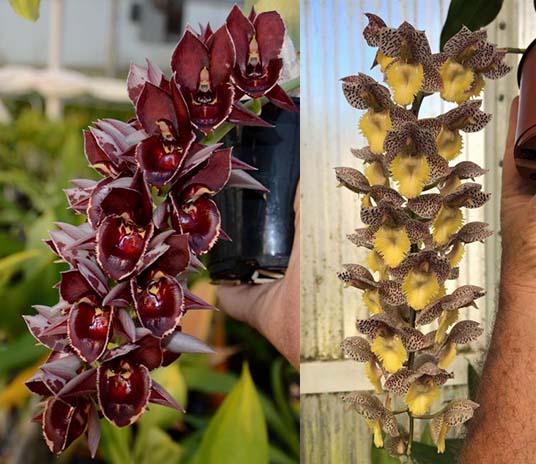 Catasetum Melana Davison 'Foxtail' x Catasetum Dentigrianum 'SVO Cutie'