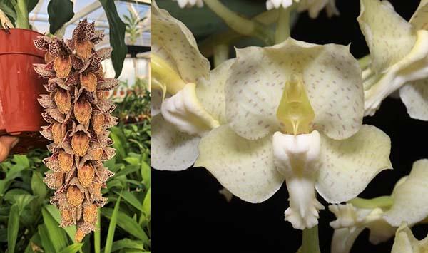 Catasetum Dentigrianum (denticulatum 'Dark Spots' x tigrinum 'Very Wide Petals')