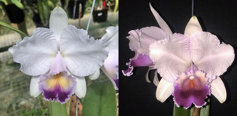 Cattleya quadricolor coerulea 'Caracoli' x quadricolor coerulea 'Malakita'