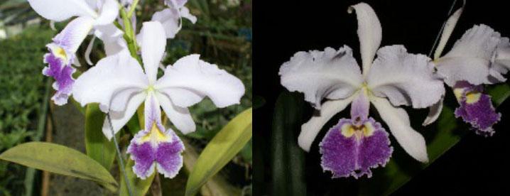 Cattleya warscewiczii coerulea 'La deseada' x 'Florazul'