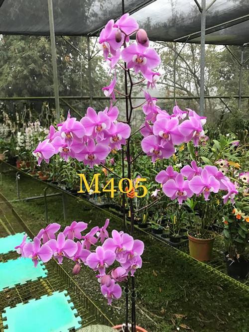 Phalaenopsis schilleriana 'SWR' (MC)