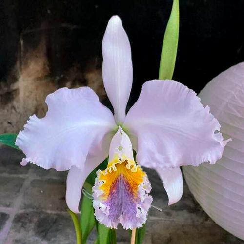 Cattleya mossiae coerulea 'Roraima' x self
