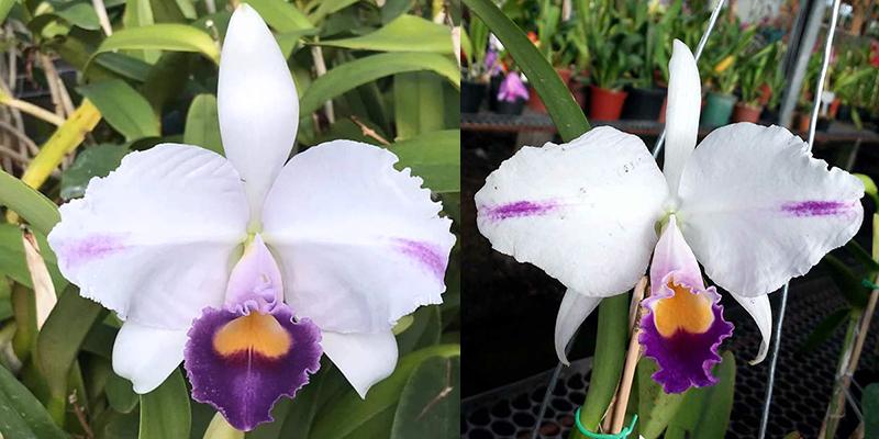 Cattleya trianae coerulea 'Azul' x 'Pepita'