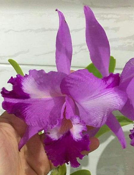 Cattleya warneri flamea x trilabelo