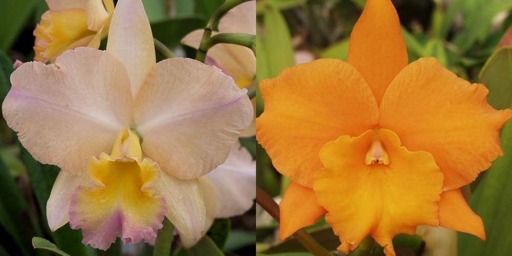Potinara William Farrell 'Native Son' 3421 x Brassolaeliocattleya Hawaiian Discovery 'Fluorescent Orange' HCC/AOS 3421)