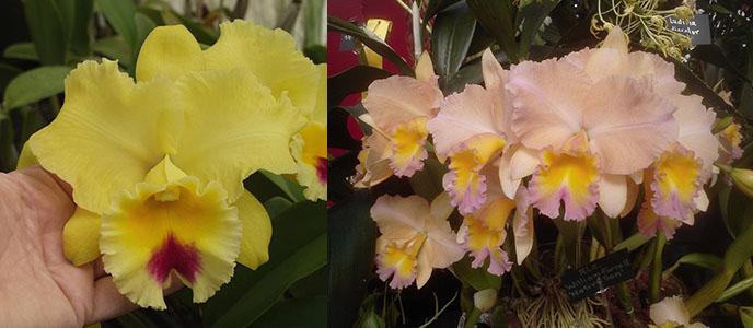 Brassolaeliocattleya Goldenzelle 'Lemon Chiffon' AM/AOS 1327 x Potinara William Farrell 'Native Son' 3421