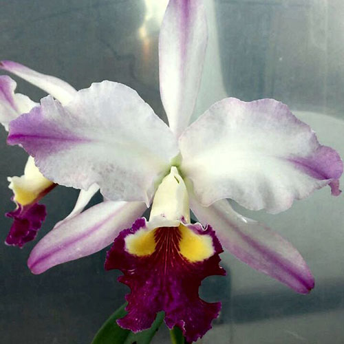 Cattleya warscewiczii semi-alba 'Fascination' x lueddemanniana semi-alba 'Cerro Verde'