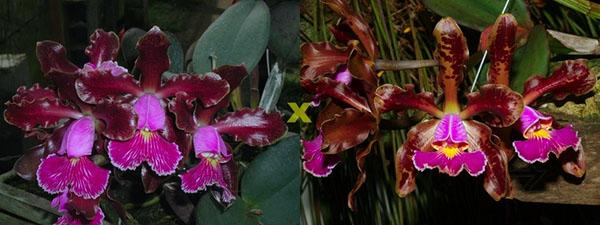 Cattleya schilleriana 'Ibiraçú' x Cattleya schilleriana 'Água Surda'