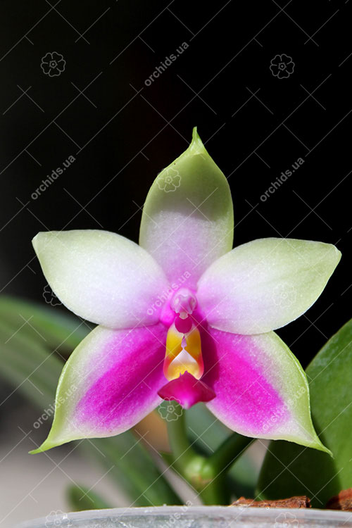 Phalaenopsis bellina