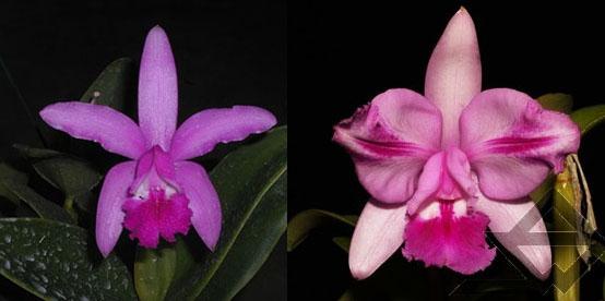 Cattleya intermedia sanguinea 'do Padre Vitus' x Cattleya intermedia flamea 'BF-96'