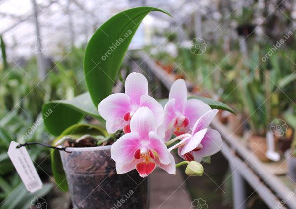 Phalaenopsis Yaphon Glad Canary (Yaphon Tris x Yungho Gelb Canary)