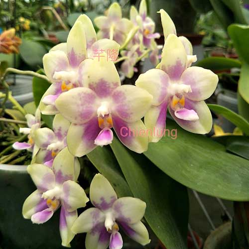 Phalaenopsis Chienlung Violet Canary