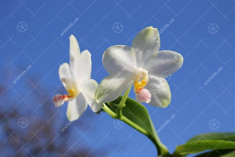 Phalaenopsis philippinensis x (Sogo Yukidian 'V3' - Yungho Gelb Canary)