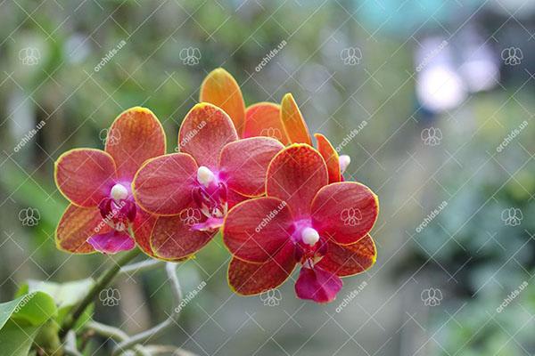 Купить орхидеи в Киеве по доступным ценам Интернет
