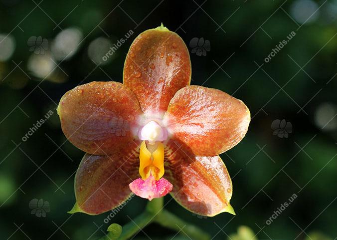 Phalaenopsis Ho's Green Marble '#1' x Chang Maw Evergreen 'U-Bix'