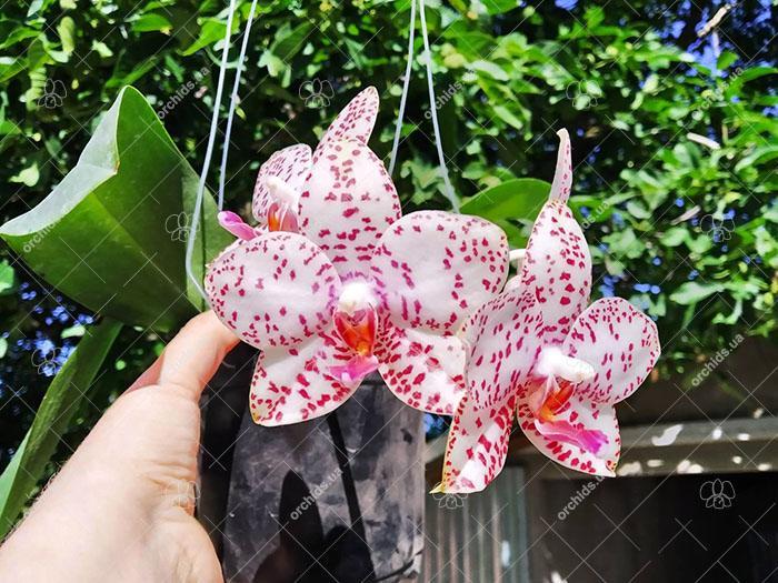 Phalaenopsis Brother Princess 'Hai-Tung'