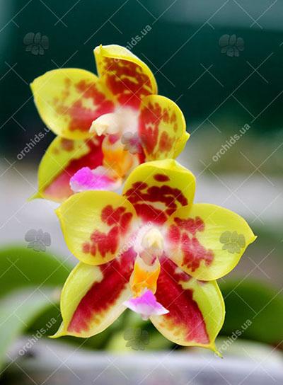 Phalaenopsis Chang Yi Green Giant x Yaphon Godboy