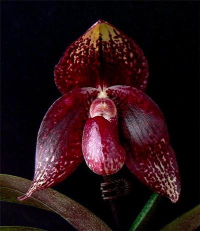 Paphiopedilum bellatulum x anitum