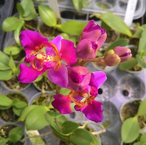 Phalaenopsis equestris var leacopsis 'Anne' JC/AOS