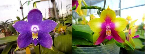 Phalaenopsis violacea indigo x LD Double Dragon 'Mituo #1'