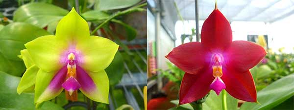 Phalaenopsis (Yin's Bellina Kaiulani x Ld's Bear Queen ) x Dragon Tree Eagle 'Red Eagle'