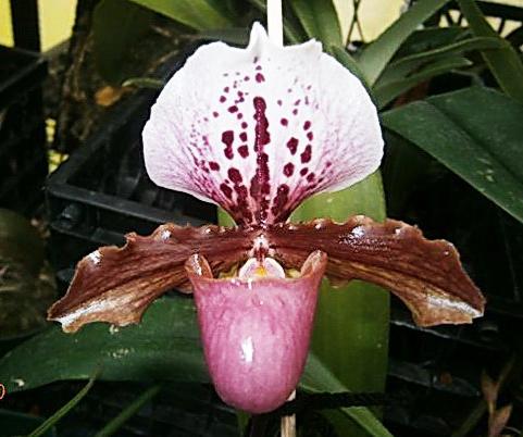 Paphiopedilum moquettianum x henryanum