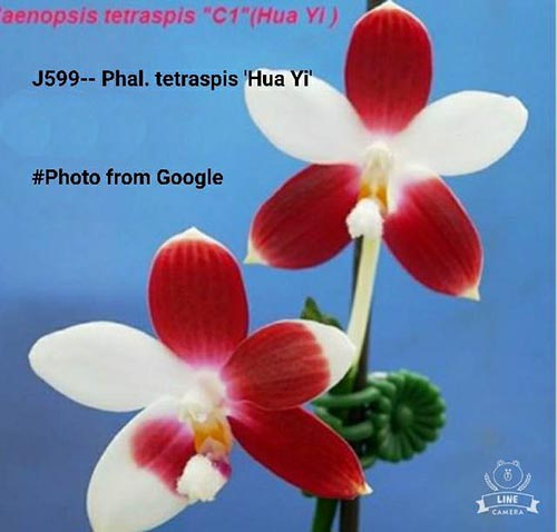 Phalaenopsis tetraspis 'Hua Yi'