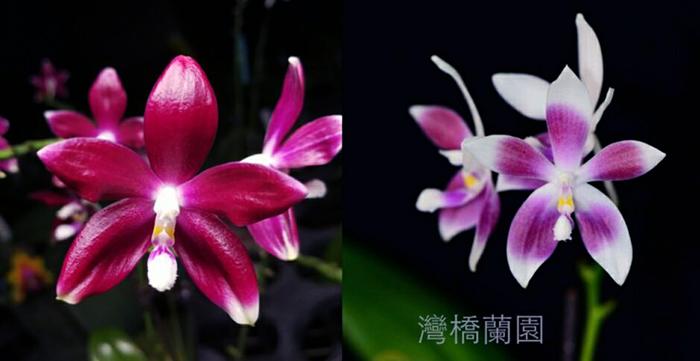 Phalaenopsis tetraspis 'Red' x 'Blue'