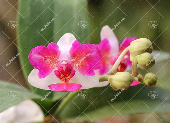 Phalaenopsis Liu's Berry 'ES'