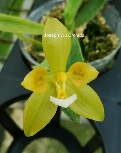 Phalaenopsis cornu-cervi (Green peloric) 'Joseph Wu'
