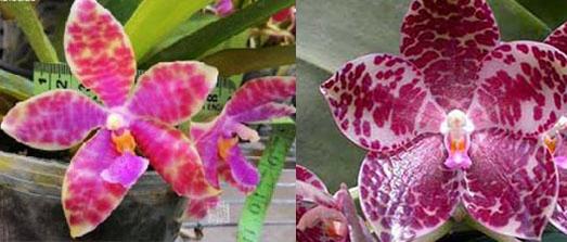 Phalaenopsis Joy Micholuedde x gigantea