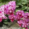 Phalaenopsis Formosa Cranberry