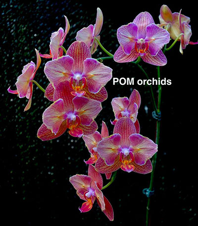 Phalaenopsis I-Hsin Ice Coke 'peloric'