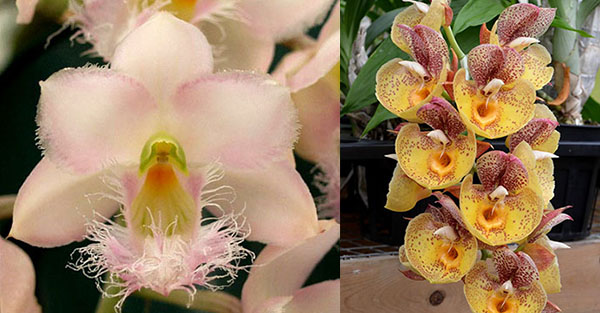 Clowesia Grace Dunn 'Chadds Ford' x Catasetum Orchidglade 'Davie Ranches'