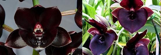 Fredclarkeara Majestic Orchids Shopper (Fredclarkeara After Midnight 'SVO Dark Beauty'x Catasetum John C Burchett 'Ursa Major')