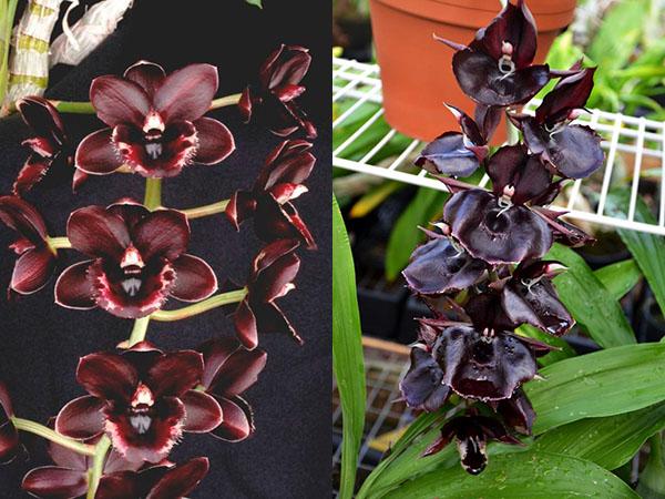 Fredclarkeara After Hours 'SVO Heaven Scent' x Catasetum Orchidglade 'JTM'