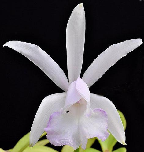 Cattleya intermedia var irrorata