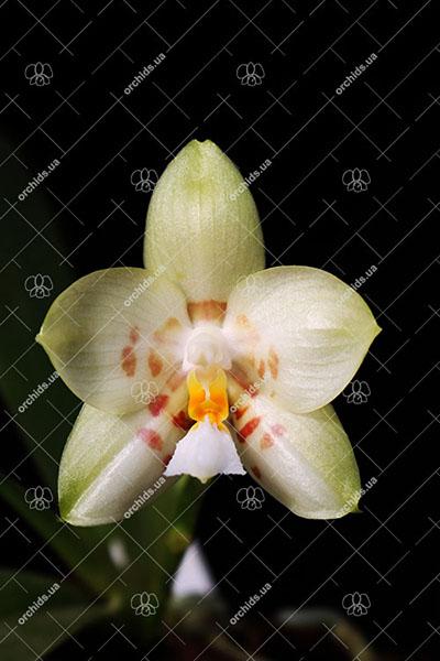 Phalaenopsis Yaphon Database