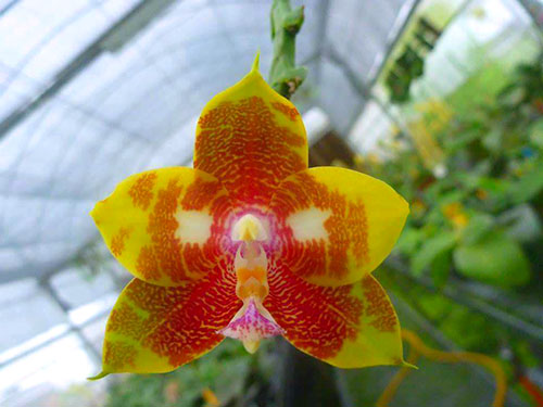 Phalaenopsis Ld's Bear King 'Snake Eye'