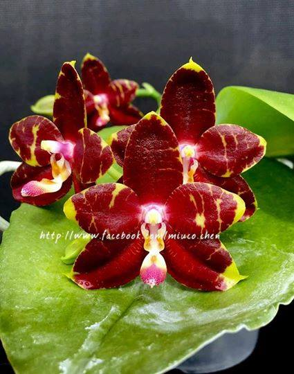 Phalaenopsis YangYang Prince (Jong's Gigan Cherry x LD Bear King)