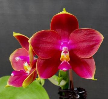 Phalaenopsis Mituo King Bellina 'Red Apple'