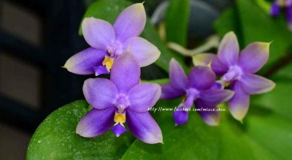 Phalaenopsis Yaphon The Hulk