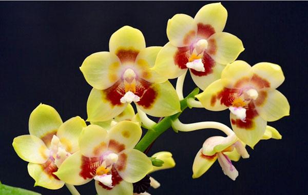 Phalaenopsis Chienlung Sweetheart 'Light' (clone)