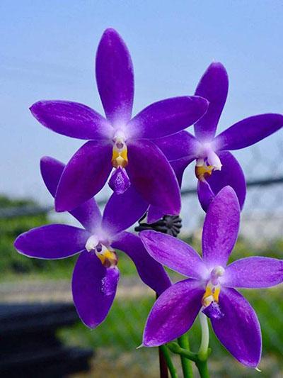 Phalaenopsis YangYang Blue Berry