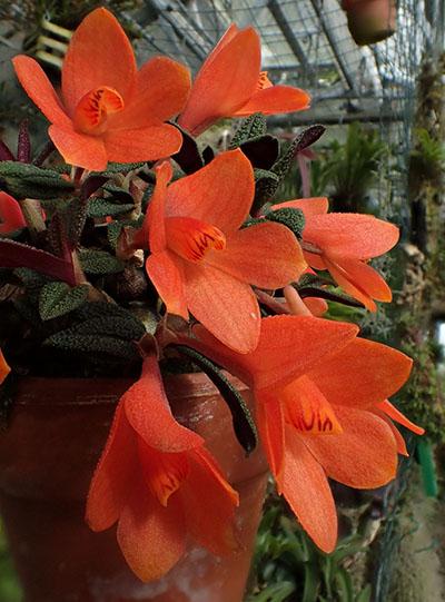 Dendrobium cuthbertsonii Orange