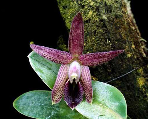 Epidendrum sophronitis