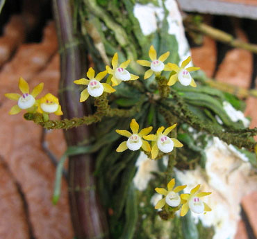 Taeniophyllum obtusum